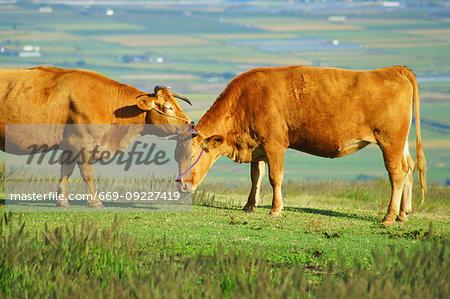 Aso Cattle