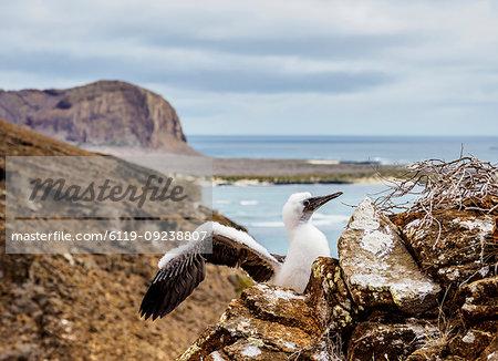 Blue-footed booby juvenile (Sula nebouxii), Punta Pitt, San Cristobal (Chatham) Island, Galapagos, UNESCO World Heritage Site, Ecuador, South America