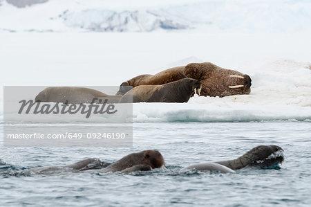 Atlantic walruses (Odobenus rosmarus) swimming in ocean and on icebergs,  Vibebukta, Austfonna, Nordaustlandet, Svalbard, Norway