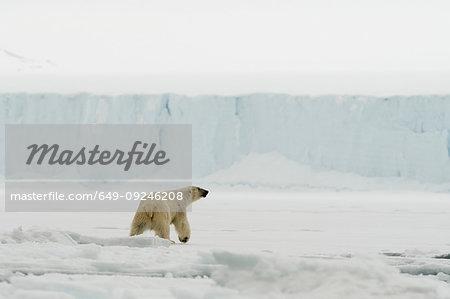 Polar bear (Ursus maritimus on  polar ice cap, Austfonna Nordaustlandet, Svalbard, Norway
