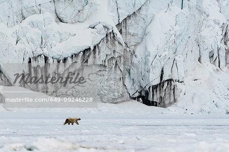 Polar bear (Ursus maritimus) walking on Barents Island, Svalbard, Norway