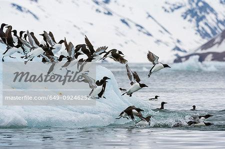 Brunnich's Guillemots (Uria lomvia) taking flight from coastal iceberg, Burgerbukta, Spitsbergen, Svalbard, Norway.