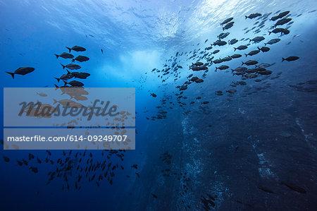 Schools of fish swimming near the pinnacle of roca partida, Socorro, Baja California, Mexico