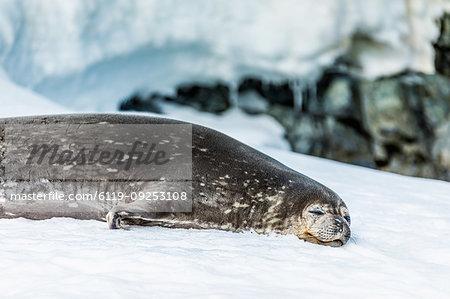 Antarctic fur seal chillin' on the ice in Antarctica, Polar Regions