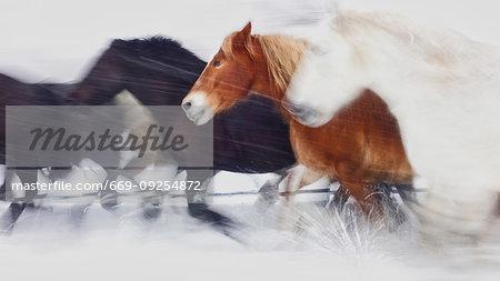 Horses running in winter