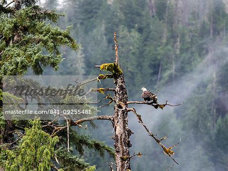 Adult bald eagle, Haliaeetus leucocephalus, Misty Fjords National Monument, Southeast Alaska, United States of America