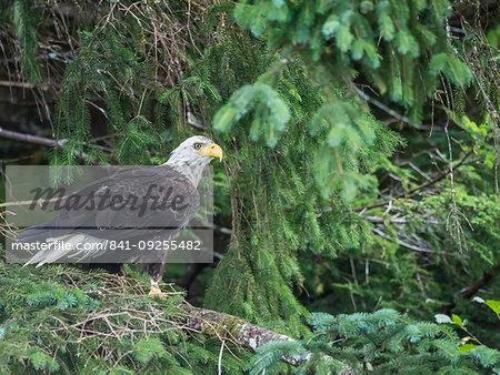 Bald eagle, Haliaeetus leucocephalus, surveying the sea in the Inian Islands, Cross Sound, Southeast Alaska, United States of America