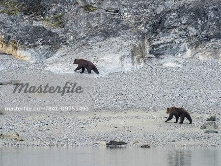 Adult brown bears, Ursus arctos, foraging at low tide in Glacier Bay National Park, Southeast Alaska, United States of America