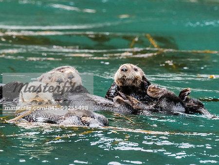 A raft of sea otters, Enhydra lutris, grooming their fur in kelp in the Inian Islands, Southeast Alaska, United States of America
