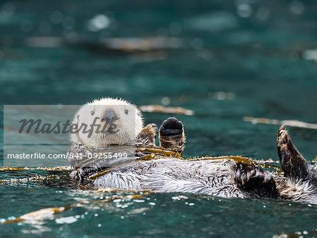 A rafting sea otter, Enhydra lutris, grooming its fur in kelp in the Inian Islands, Southeast Alaska, United States of America