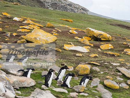 Southern rockhopper penguins, Eudyptes chrysocome, at rookery on Saunders Island, Falkland Islands, South Atlantic Ocean