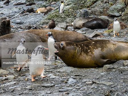 Adult gentoo penguins, Pygoscelis papua, amongst elephant seals at Elsehul, South Georgia Island, Atlantic Ocean