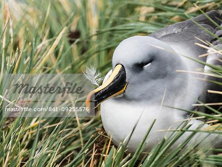 Adult grey-headed albatross, Thalassarche chrysostoma, on nest on tussock grass at Elsehul, South Georgia Island, Atlantic Ocean