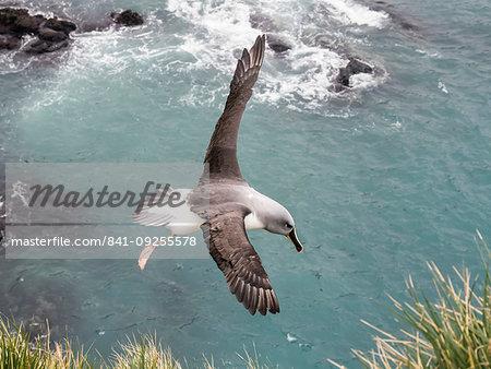 Adult grey-headed albatross, Thalassarche chrysostoma, returning to nest site at Elsehul, South Georgia Island, Atlantic Ocean