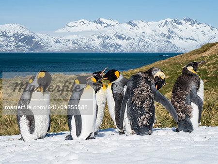 Moulting adult king penguins, Aptenodytes patagonicus, in the snow at Grytviken, South Georgia Island, Atlantic Ocean