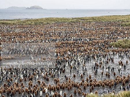 Oakum boy king penguin chicks, Aptenodytes patagonicus, amongst adults at Salisbury Plain, South Georgia Island, Atlantic Ocean