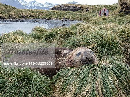 Adult bull southern elephant seal, Mirounga leonina, in tussock grass, Jason Harbour, South Georgia Island, Atlantic Ocean