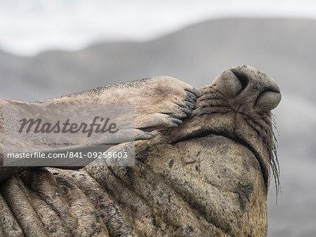 Adult bull southern elephant seal, Mirounga leonina, proboscis detail, Fortuna Bay, South Georgia Island, Atlantic Ocean
