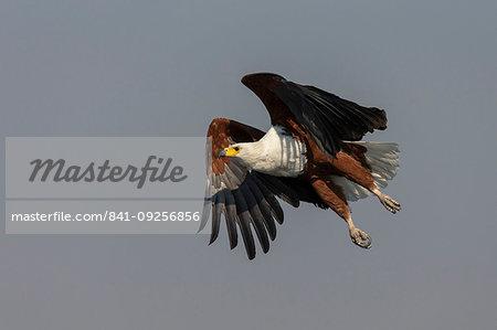 African fish eagle, Haliaeetus vocifer,  Chobe river, Botswana, Southern Africa