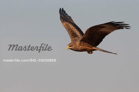 Yellowbilled kite, Milvus aegyptius,  Zimanga private game reserve, KwaZulu-Natal, South Africa