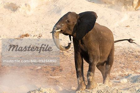African elephant, Loxodonta africana,  Chobe river, Botswana, Southern Africa