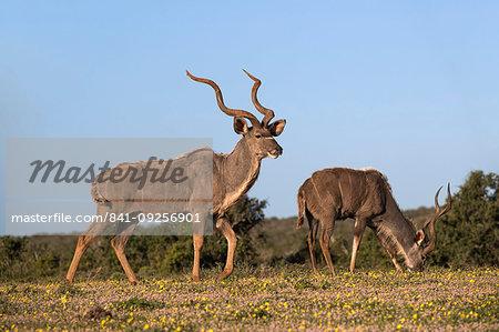 Greater kudu, Tragelaphus strepsiceros, among spring flowers, Addo Elephant national park, Eastern Cape, South Africa