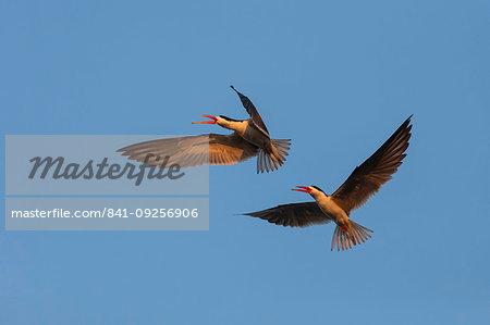 African skimmers, Rynchops flavirostris, courtship display, Chobe river, Botswana, Southern Africa,