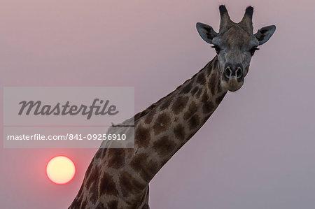 Giraffe, Giraffa camelopardalis, at sunset, Chobe national park, Botswana, Southern Africa