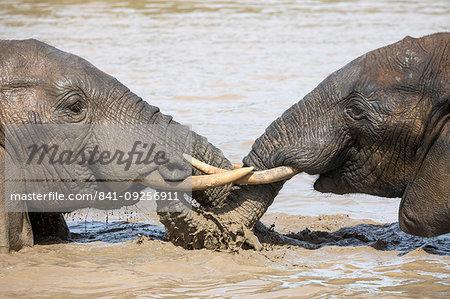 African elephant, Loxodonta africana, bathing, Addo elephant national park, Eastern Cape, South Africa