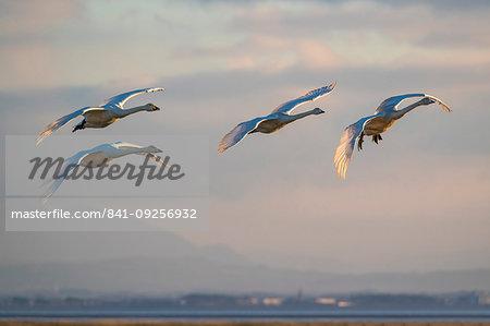 Whooper swans, Cygnus cygnus, in flight, Caerlaverock WWT reserve, Dumfries and Galloway, Scotland, United Kingdom, Europe