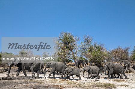 African elephants, Loxodonta africana,  Chobe national park, Botswana, Southern Africa