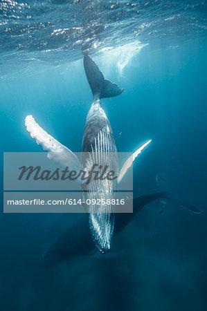 Humpback whale mother and calf cruise close to sea surface, Punta Baja, Baja California, Mexico