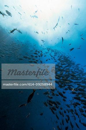 Shoal of fish, Revillagigedo Islands, Socorro, Baja California, Mexico
