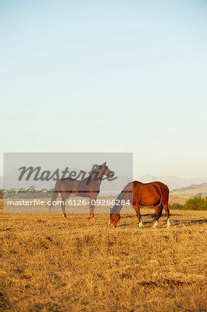 Brown horses in field