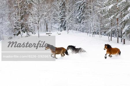 Brown horses running through snow