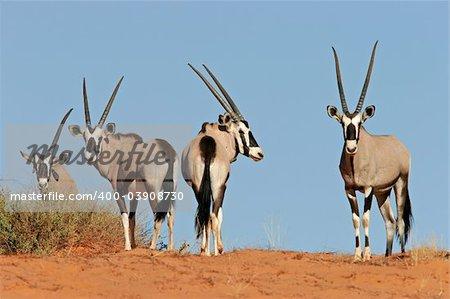 Gemsbok antelopes (Oryx gazella) on dune, Kalahari, South Africa
