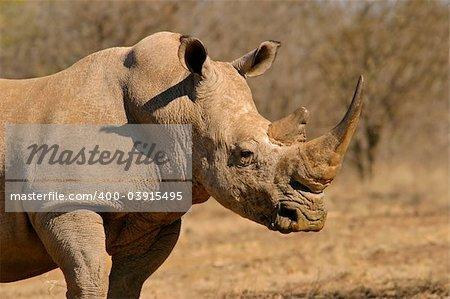 Portrait of a white (square-lipped) rhinoceros (Ceratotherium simum), South Africa