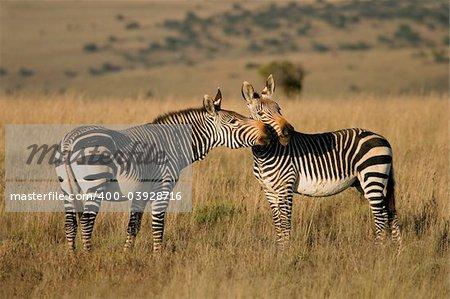 Endangered Cape Mountain Zebras (Equus zebra), Mountain Zebra National Park, South Africa