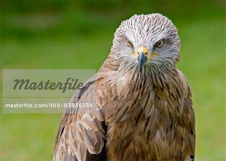 Eagle portrait over background blurred. Eyes on focus