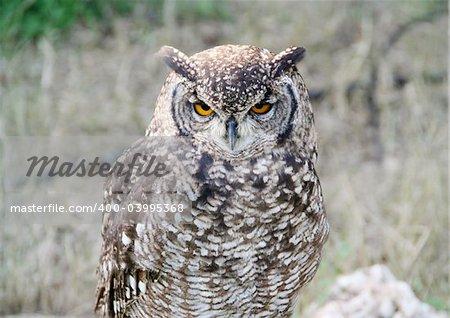 A beautiful eurasian eagle-owl (Bubo Bubo)