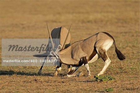 Two male gemsbok antelopes (Oryx gazella) fighting for territory, Kalahari desert, South Africa