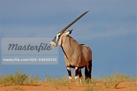 A gemsbok antelope (Oryx gazella) on a red sand dune, Kalahari desert, South Africa