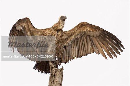 Whitebacked Vulture ; Gyps Africanus; South Africa