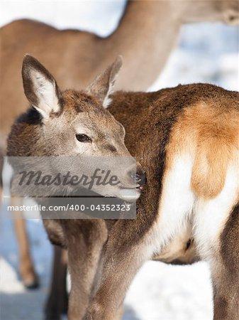 Baby deer fawn in winter