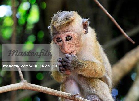 The child of monkeys in forest. Sri Lanka