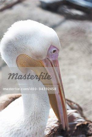 Photo of great white pelican closeup - Pelecanus onocrotalus