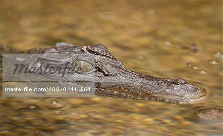A close-up shot of a salt water crocodile (Crocodylus porosus)