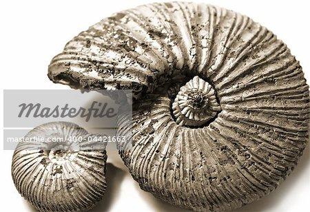 fossilized ammonite on white background