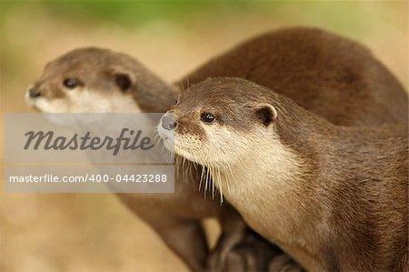A pair of European Otters