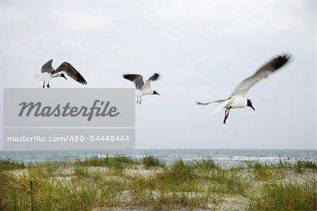 Three seagulls flying over beach.